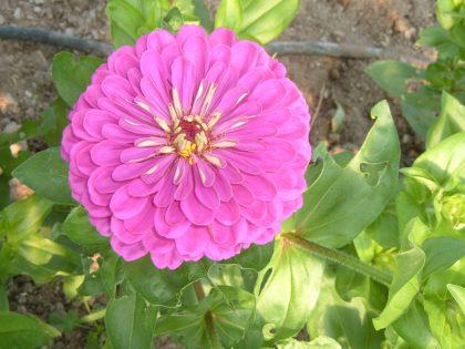 Zinnia Purple Dahlia Seeds