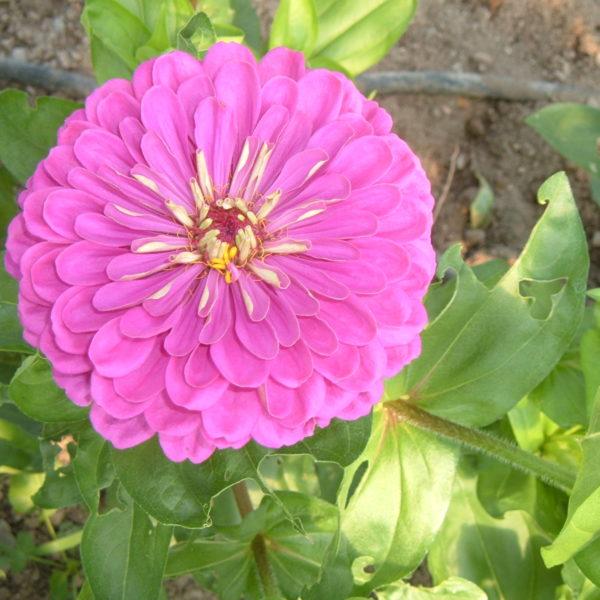 Zinnia, Purple Dahlia