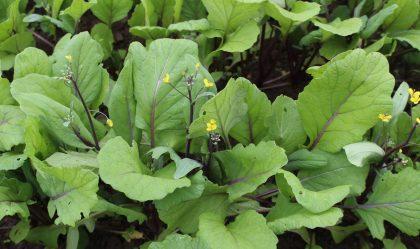 Hon Tsai Tai Seeds
