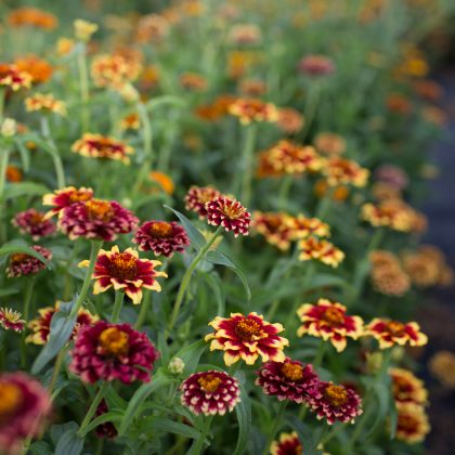 aztec sunset zinnia