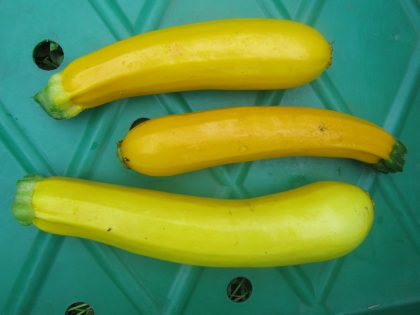 raphaels Gold zucchini seeds