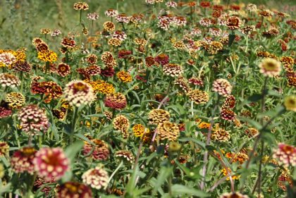 Aztec Sunset Bush Zinnia