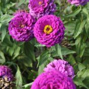 Purple Dahlia Zinnia