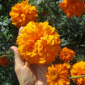 Pesches Gold Marigold Seeds