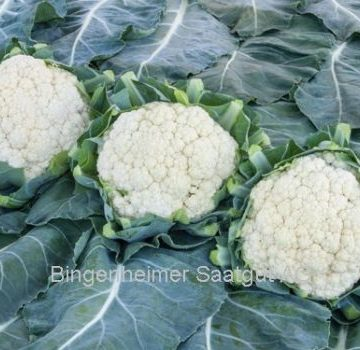Nekar Pearl Cauliflower Seeds